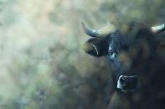 米洛维斯自然保护区野马和野牛